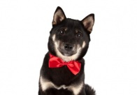 Show Tech Canine Costume Dickie Bows 10-pack Assorted for Dogs